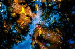 黄色和桔子离开在水下在美洲红树森林 免版税库存照片