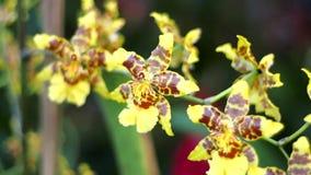 黄色和棕色兰花关闭在巴厘岛 股票录像