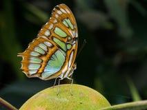 绿色和棕色蝴蝶 库存照片