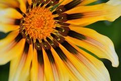 黄色和棕色黄金菊或黑注视苏珊花宏观细节  库存图片