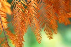 黄色和橙色冷杉分支在秋天 免版税图库摄影