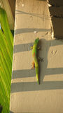 绿色和橙色壁虎 免版税库存照片