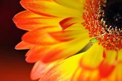 黄色和橙色大丁草细节、照片,宏观摄影和花背景 免版税图库摄影