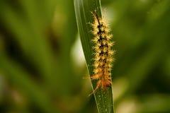 黄色和橙色尖多刺的毛虫 免版税库存照片