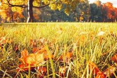 黄色和橙色干燥秋天槭树在草坪离开在秋天公园 免版税库存照片