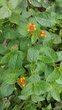 黄色和橙色微小的花和叶子 免版税库存图片
