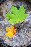 绿色和橙色枫叶在秋天(Acer platanoides) 免版税库存图片