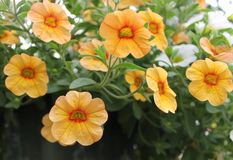 黄色和橙色Calibrachoa 免版税库存照片