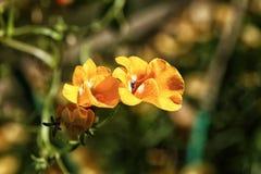 黄色和橙色Nemesia花在夏天 库存照片