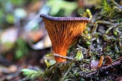紫色和橙色Paxillus 库存照片