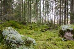 绿色和生苔具球果森林 免版税库存图片
