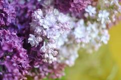 紫色和白色丁香开花春天开花背景,选择聚焦 库存照片