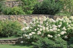 绿色和白色八仙花属灌木,篱芭由石头制成 免版税库存照片