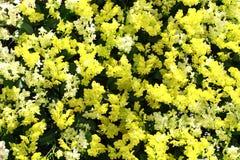黄色和白色兰花 免版税图库摄影