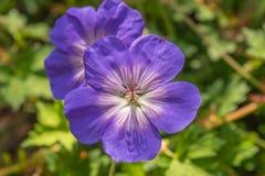 紫色和白色大竺葵 库存图片