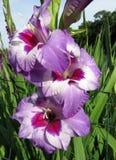 紫色和白色开花在春天庭院 免版税库存图片