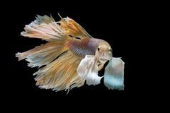 黄色和白色暹罗战斗的鱼,在黑色隔绝的betta鱼 免版税库存图片