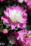 紫色和白色牡丹花 库存图片