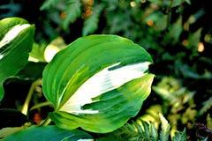 绿色和白色玉簪属植物叶子 免版税库存图片