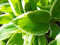 绿色和白色玉簪属植物 库存图片