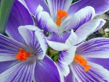 紫色和白色番红花特写镜头  免版税库存照片