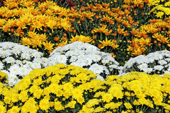 黄色和白色菊花花 库存图片