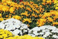黄色和白色菊花花 免版税图库摄影