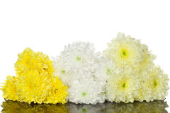 黄色和白色菊花花 免版税库存图片