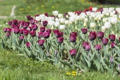 紫色和白色郁金香在春天从事园艺 库存图片