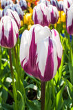 紫色和白色郁金香 免版税库存照片