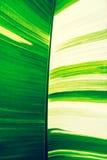 绿色和白色香蕉叶子,抽象自然纹理背景 库存照片