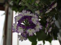 紫色和白色Calibrachoa 免版税图库摄影