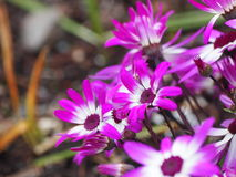 紫色和白色Senetti雏菊 图库摄影