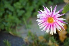 紫色和白花 免版税库存照片