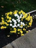 黄色和白花 免版税库存照片