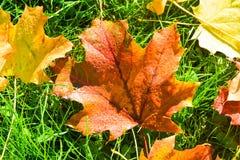 黄色和红槭离开与露滴 免版税库存图片