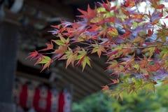 黄色和红槭离开在秋天期间在京都,日本 免版税图库摄影