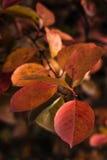 黄色和红色叶子 库存照片