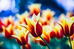 黄色和红色在春天庭院里开花郁金香 库存图片