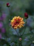 黄色和红色庭院花 免版税库存照片