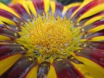 黄色和红色花芽 免版税库存图片