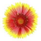 黄色和红色花,白色隔绝了与裁减路线的背景 没有影子 图库摄影