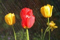 黄色和红色郁金香在与DOF的雨中在更低的正确的黄色郁金香 免版税图库摄影