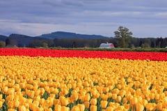 黄色和红色郁金香的被日光照射了领域 免版税库存照片