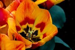 黄色和红色郁金香 库存图片