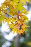 黄色和红色鸡爪枫离开在秋天期间在京都, Jap 库存照片