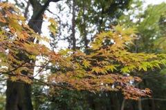 黄色和红色鸡爪枫离开在秋天期间在京都, Jap 免版税库存图片