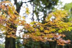 黄色和红色鸡爪枫离开在秋天期间在京都, Jap 免版税库存照片