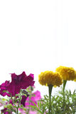 黄色和红色tagetes 免版税图库摄影