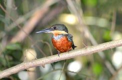 绿色和红褐色翠鸟Chloroceryle inda 库存照片